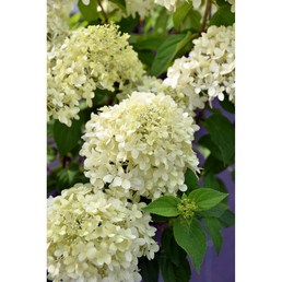 GARTENKRONE Rispenhortensie Hydrangea paniculata »Limelight -R-«