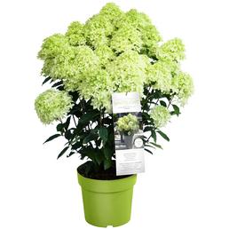 Rispenhortensie, Hydrangea paniculata »Whitelight«, cremeweiß