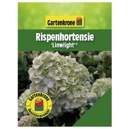 GARTENKRONE Rispenhortensie paniculata Hydrangea »Limelight -R-«