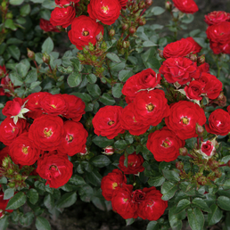 Rose »Mandy«, Blüte:
