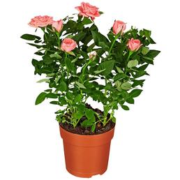 GARTENKRONE Rose, Rosa hybrid, Blüte: rosa