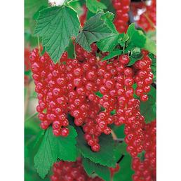 GARTENKRONE Rote Johannisbeere, Ribes rubrum »Rovada«, Blüten: weiß, Früchte: rot, säuerlich