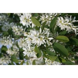 GARTENKRONE Säulenfelsenbirne, Amelanchier alnifolia »Obelisk«, Früchte: süß-säuerlich, Frosthart