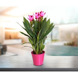 GARTENKRONE Safranwurz, Curcuma alismatifolia, Blüte: rosa/pink