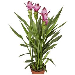 GARTENKRONE Safranwurz »Curcuma Alismatifolia«, Rosa/pink
