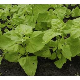SAATGUT DILLMANN Samen Gartenmelde (Lichtgrüne) Gelbe bio