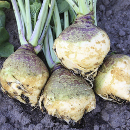 SAATGUT DILLMANN Samen Kohlrübe Gelbe aus Friesland bio
