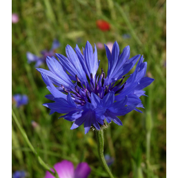 SAATGUT DILLMANN Samen, Kornblume blau naturbelassen ungebeizt