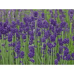 SAATGUT DILLMANN Samen, Lavendel naturbelassen Lavendel