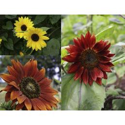SAATGUT DILLMANN Samen Sonnenblume Mischung bio