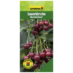 GARTENKRONE Sauerkirsche, Prunus cerasus »Morellenfeuer«, Früchte: süß-säuerlich, zum Verzehr geeignet