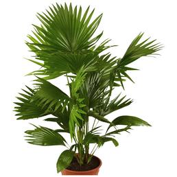GARTENKRONE Schirmpalme Livistona rotundifolia