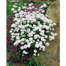 RockCollection® Schleifenblume, Iberis sempervirens, weiß, winterhart