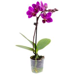 Schmetterlingsorchidee, Phalaenopsis, Blüte: violett, mit 1 Trieb