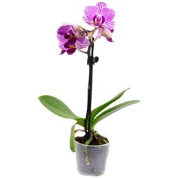 Schmetterlingsorchidee Phalaenopsis , Blüte: zweifarbig, mit 1 Trieb