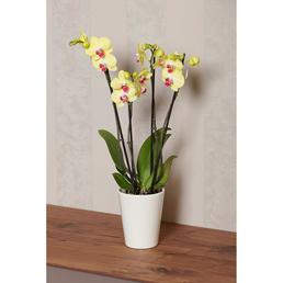 GARTENKRONE Schmetterlingsorchidee, Phalaenopsis hybrid, Blüte: mehrfarbig, im Topf