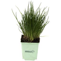 GREENBAR Schnittlauch 3er Set, Allium Schoenoprasum, Blütenfarbe: lila