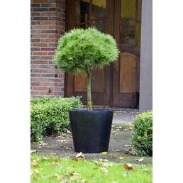 BOTANICO Schwarzkiefer Pinus nigra »Brepo«