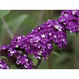 Sommerflieder, Buddleja davidii »Berries & Cream«, Blütenfarbe weiß/lila