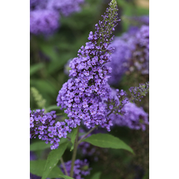 Sommerflieder, Buddleja davidii »Ellen's Blue«, Blütenfarbe blauviolett
