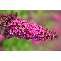 GARTENKRONE Sommerflieder, Buddleja davidii »Funky Fuchsia«, Blütenfarbe rosa/pink