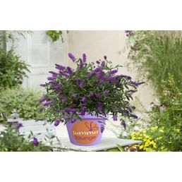 Sommerflieder, Buddleja davidii »Summer Lounge«, Blütenfarbe violett