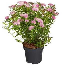GARTENKRONE Spierstrauch, Spiraea japonica »Shirobana«, Blütenfarbe rosa/pink