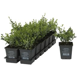 Spindelstrauch, fortunei Euonymus  »var. Radicans«, Blätter: grün, Ø Topf: 9  cm