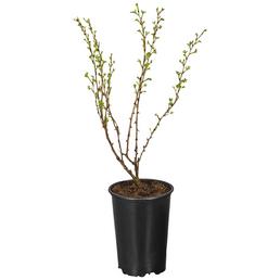 GARTENKRONE Stachelbeere, Ribes uva-crispa »Hinnonmäki«, Blüten: creme, Früchte: rot, säuerlich