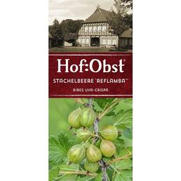 Stachelbeere Ribes uva-crispa »Reflamba«