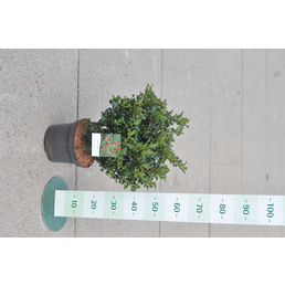 GARTENKRONE Stechpalme, Ilex meserveae »Blue Holly«, Blütenfarbe: weiß
