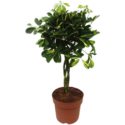 Strahlenaralie, arboricola Schefflera, Topf-Ø: 19cm