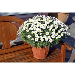 GARTENKRONE Strauchmargerite frutescens Argyranthemum