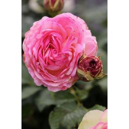 Strauchrose, Rosa,,  »Eden Rose85 ®«, Blüte: blassrosa