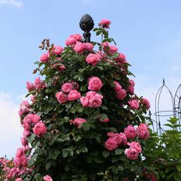KORDES ROSEN Strauchrose, Rosa »Flora Colonia/Kölner Flora®«, Blüte: rosa, gefüllt