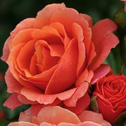 KORDES ROSEN Strauchrose, Rosa »Lambada®«, Blüte: orange, gefüllt
