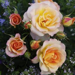 KORDES ROSEN Strauchrose, Rosa »Landlust®«, Blüte: rosa, halbgefüllt
