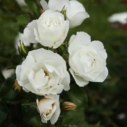 KORDES ROSEN Strauchrose, Rosa »Weisse Wolke®«, Blüte: weiß, gefüllt