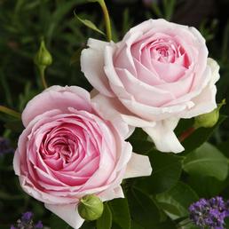 KORDES ROSEN Strauchrose, Rosa »Wellenspiel®«, Blüte: rosa, gefüllt