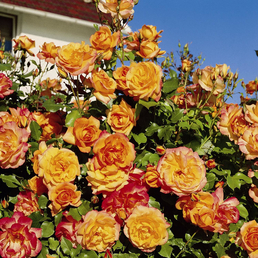 ROSEN TANTAU Strauchrose, Rosa x hybride »Sahara«, Blüte: zweifarbig, gefüllt