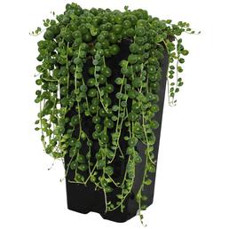 EXOTENHERZ Sukkulente Erbse am Band,  Senecio rowleyanus, grün