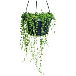 EXOTENHERZ Sukkulente Erbsenpflanze,  Senecio rowleyanus, grün