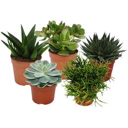 EXOTENHERZ Sukkulenten-Set, grün,  5 versch. Pflanzen