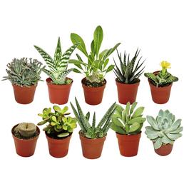 EXOTENHERZ Sukkulenten-Set, grün/rot, 10 versch. Pflanzen