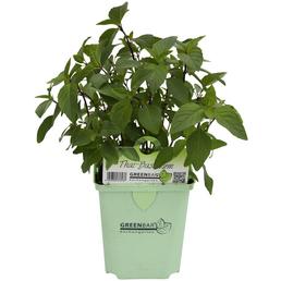 GREENBAR Tai-Basilikum 3er Set, Ocimum basilicum var. Thyrsiflora, Blütenfarbe: lila