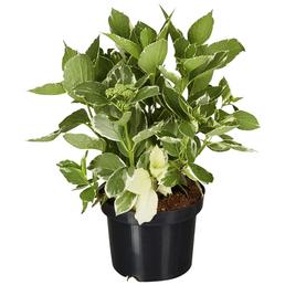 GARTENKRONE Tellerhortensie Hydrangea macrophylla »Light-O-Day -R-«