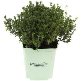 GREENBAR Thymian 3er Set, Thymus Vulgaris, Blütenfarbe: weiß