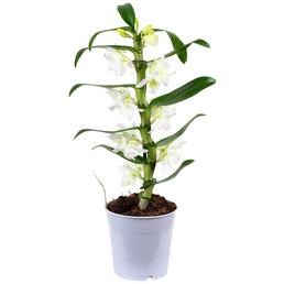 Traubenorchidee, Dendrobium Nobile, Blüte: weiß, mit 1 Trieb