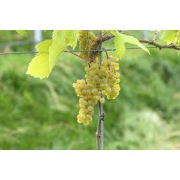 GARTENKRONE Weinrebe Vitis vinifera »Solaris«