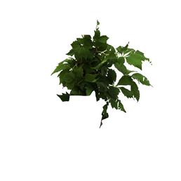 GARTENKRONE Wilder Wein, Parthenocissus quinquefolia »Engelmannii«, creme, winterhart